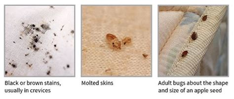 signs that you have bed bugs bed bug faq s