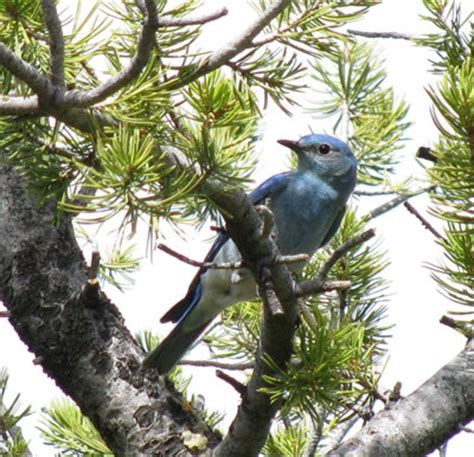 mountain bluebirds all about nesting biology mobl