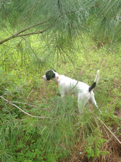 english setter started dogs for sale nice setter pup for sale