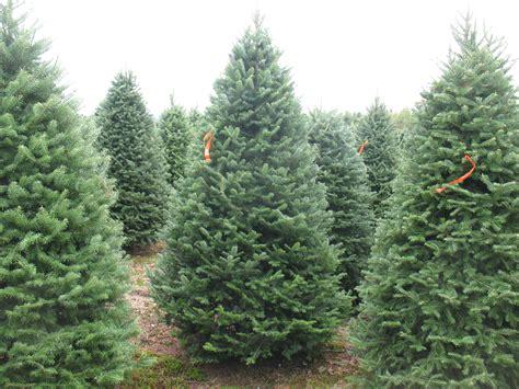 Balsam Tree - tree photos balsam fir pole trees