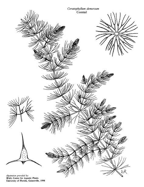 Coontail - Ceratophyllum demersum