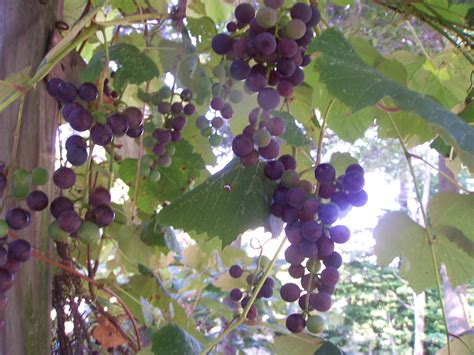 top 28 how do grapes take to grow how and when to harvest grapes gettystewart com how much