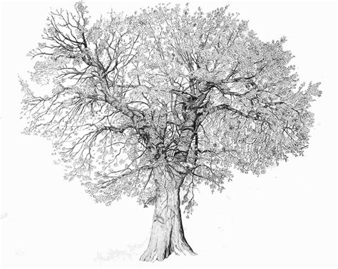 oak tree drawing art works tree drawings