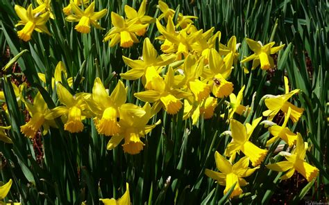 daffodil yellow mlewallpapers com yellow daffodils i