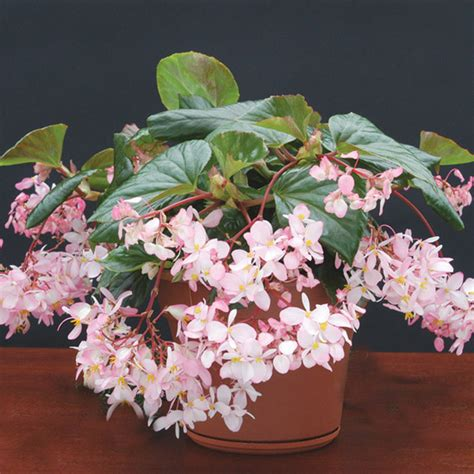 most fragrant indoor plants begonia tea buy it now