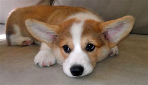 corgi puppies kansas city adorable outstanding pembroke corgi puppies dogs