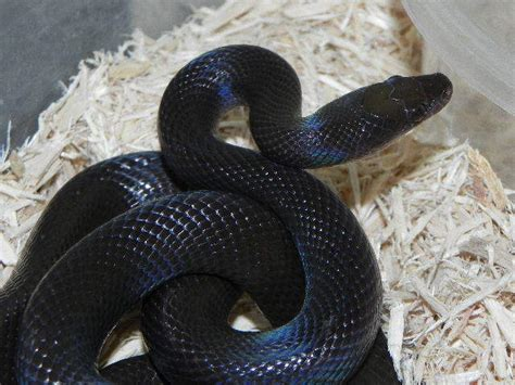african house snake african house snake for sale