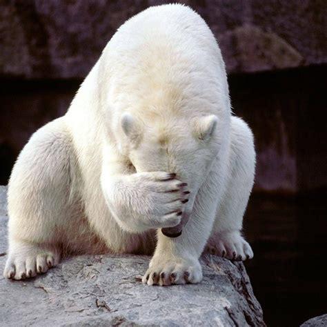 Bear Meme Generator - facepalm polar bear meme generator