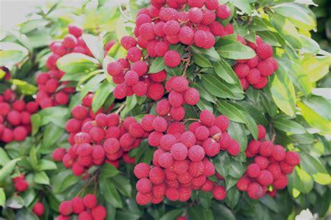 lychee fruit lychee tree hd wallpaper