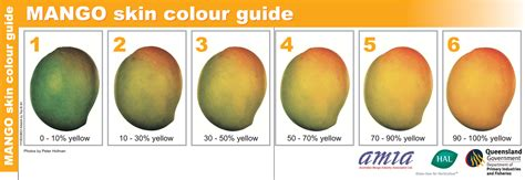 what color is a ripe mango international programs e pakag mango postharvest
