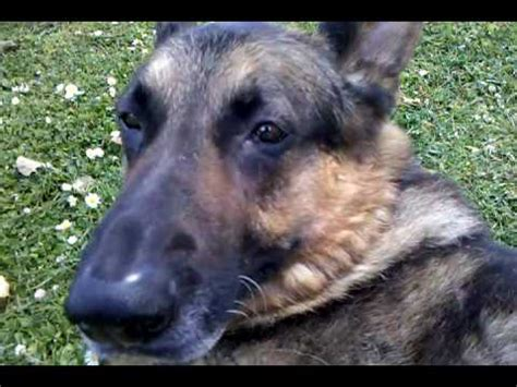 German Shepherd Excessive Shedding by Massaging Shedding Happy Tyson German Shepherd