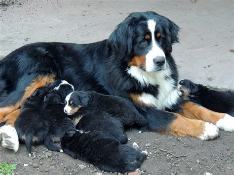 baby bernese mountain bernese mountain costume baby beds and costumes