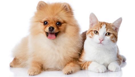 best dogs for cats 13 best dogs for cats which breeds get along with cats