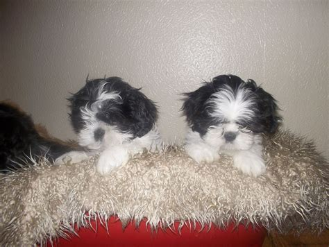 shih tzu puppies for sale in colorado shih tzu puppies for sale wirral merseyside pets4homes