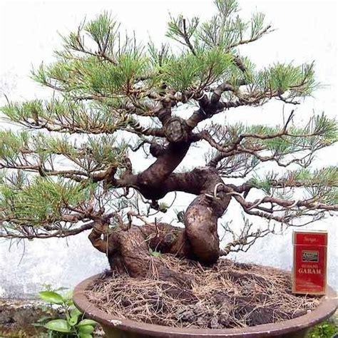Bakalan Bonsai Cemara Udang cara membuat bonsai adenium tanamanbonsai
