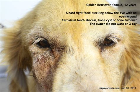 golden retriever swollen eye 20070406about toa payoh vets singapore toa payoh veterinary surgery animal doctor