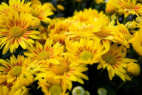 november flower birth flowers november chrysanthemums growing family