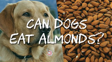 are almonds safe for dogs can dogs eat almonds pet consider