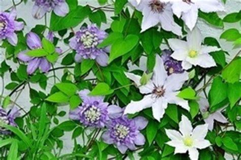 kletterpflanzen immergrün winterhart kletterpflanzen k 252 nstler in wuchs farbe