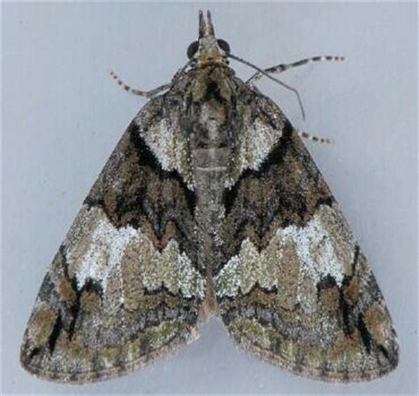 moth photographers group – hydriomena sp – 7278.97
