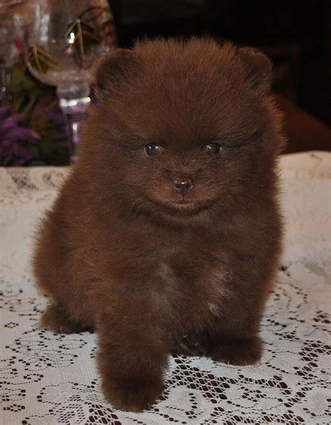 chocolate pomeranian puppy pomeranian breed 187 information pictures more