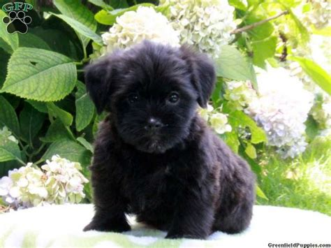 shorkie puppies for sale in pa 14 best images about puppies i like on american bulldog mix marshalls and