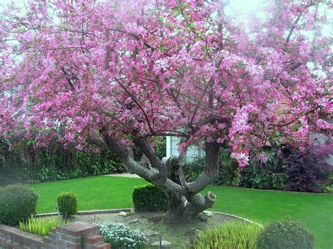 japanese flowering shrubs tree identification malus floribunda japanese flowering