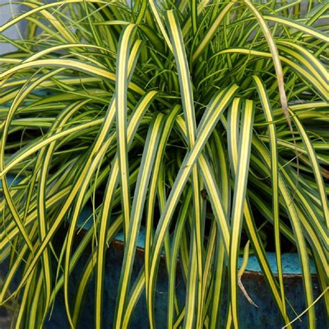 southern living plant collection 2 5 qt evercolor eversheen carex live evergreen grass lime