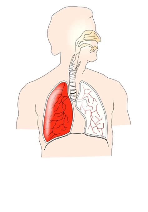respiratory system unlabelled diagram unlabelled respiratory system clip at clker