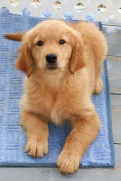 teacup golden retriever puppies 1000 images about animals on puggle puppies golden retriever puppies and