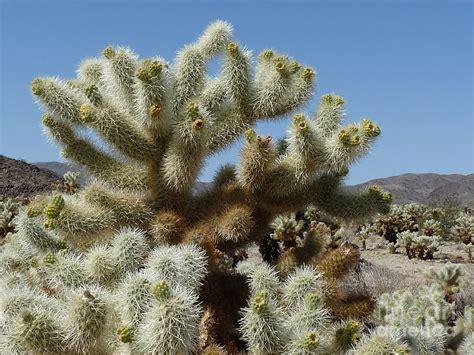 cholla cactus photograph by deborah smolinske