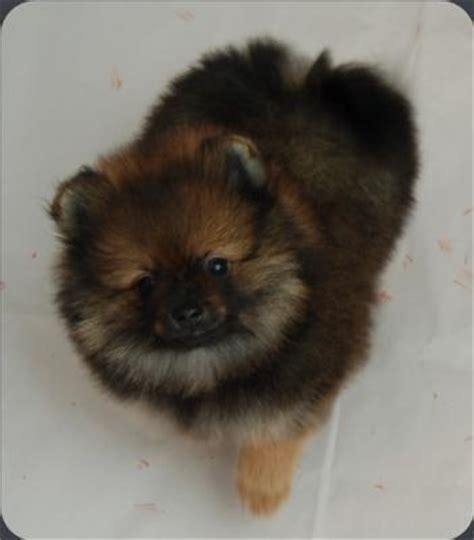 pomeranian breeders illinois 25 best ideas about pomeranian breeders on pomeranians baby pomeranian