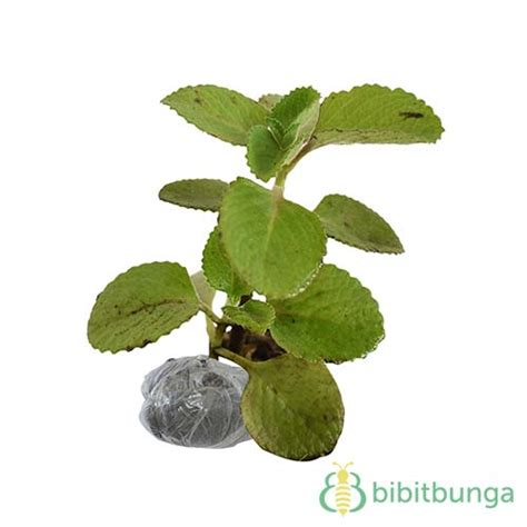 tanaman jinten
