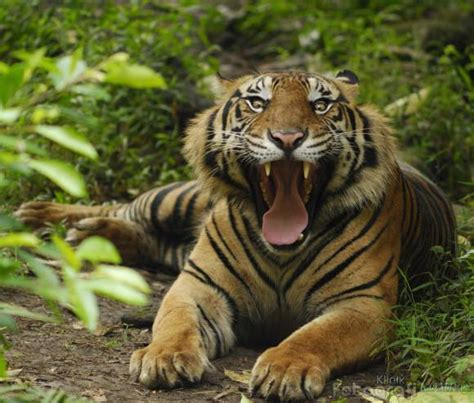 Harimaun Sumatera foto harimau sumatera artikel apa aja foto harimau sumatera