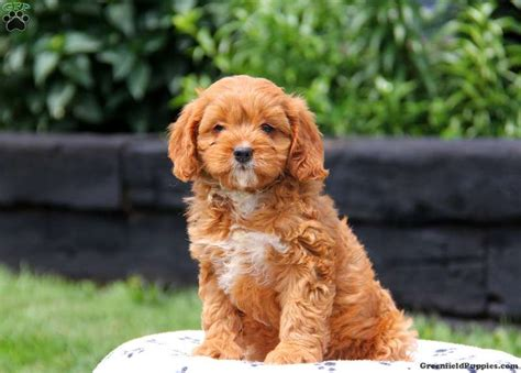 cavapoo puppies for adoption cavapoo rescue puppies for sale breeds picture