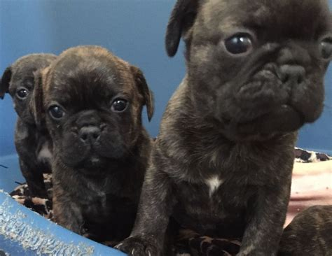 and puppy rescue pug x staff pups 2 left birmingham west midlands pets4homes