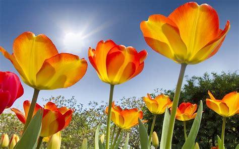 Imagenes Para Fondo De Pantalla De Tulipanes | tulipanes preciosos fondos de pantalla gratis