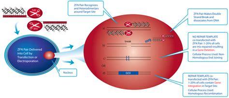 Line Desk What Is Zinc Finger Nuclease Zfn Technology Sigma Aldrich