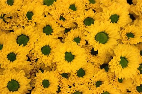 p i fruits new covent garden 24 best chrysanthemums images on chrysanthemum