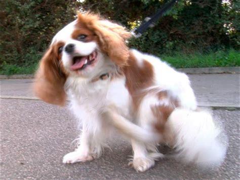 syringomyelia in dogs syringomyelia sm and the cavalier king charles spaniel