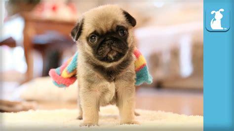 rainbow pug pug puppy wearing rainbow sock puppy