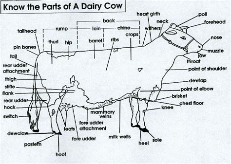 parts of a beef cow diagram beef cattle parts memes