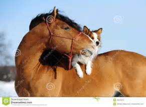 australian shepherd brown red horse and dog are friends stock images image 28049924