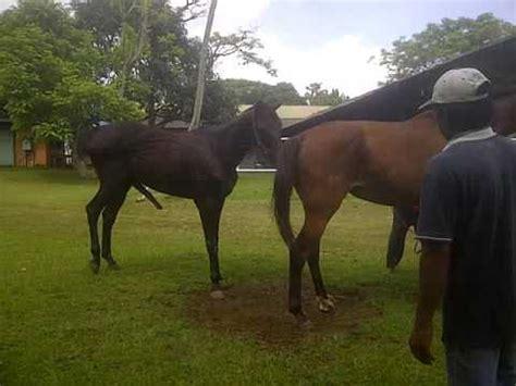 Sho Kuda 2017 mengawinkan kuda