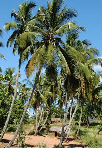 Areca Palm cocos nucifera coconut