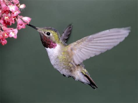 billco s outdoors the hummingbird migration on the