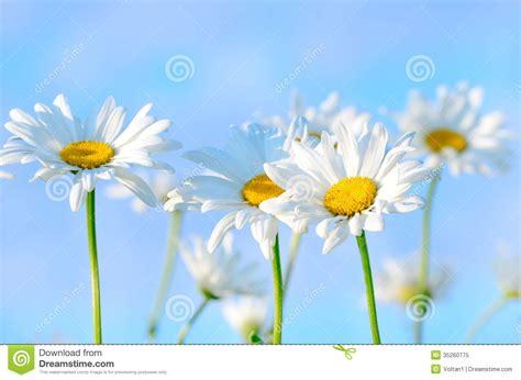 Blus Chamomile chamomile flowers on blue sky background royalty free stock photo image 35260775