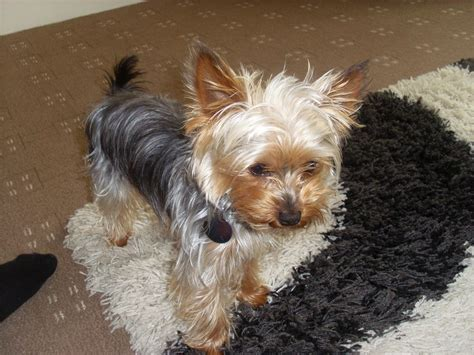mini yorkie miniature terriers breeds picture