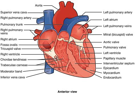 what color is blood inside the human file 2008 anatomy of the heartn jpg wikimedia