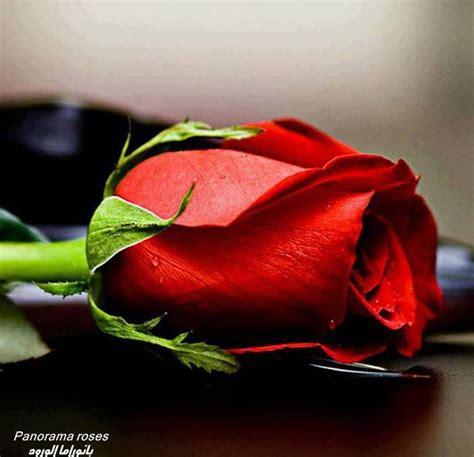 fiore rosa rossa una rosa rossa 232 per sempre amici in fiore